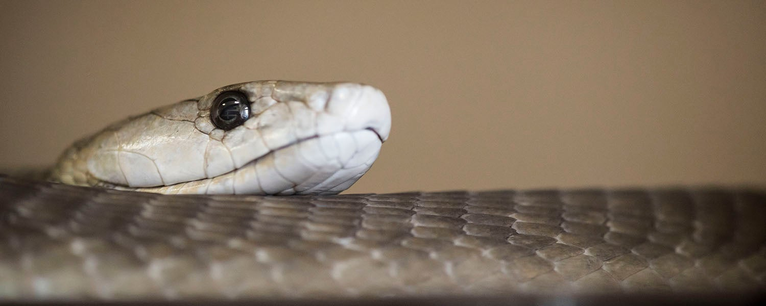 Head of a snake, brown with white and a black eye.