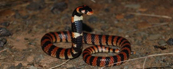 Snake black, orange/brown and white on the ground with his head up.