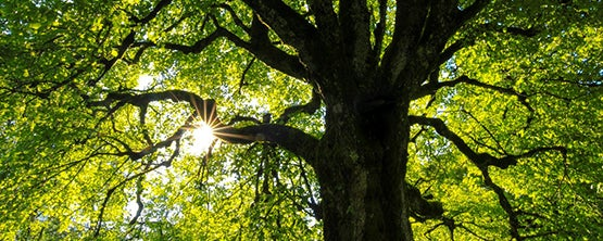 Sun coming trough the Oak